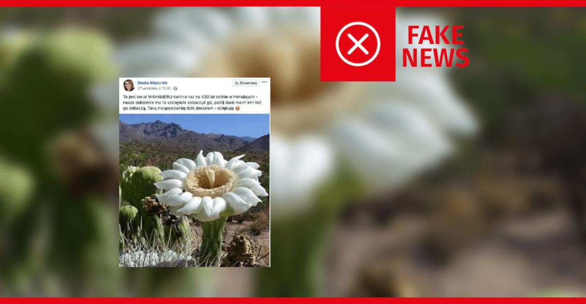 Kwiat Mahameru nie kwitnie raz na 400 lat, ponieważ nie istnieje