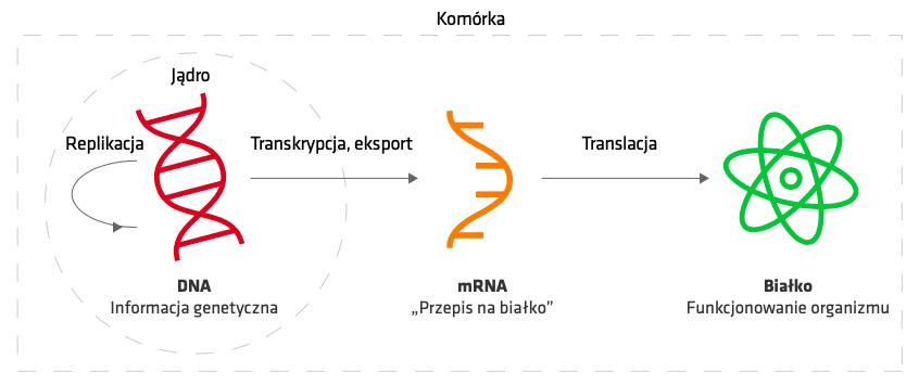 Schemat działania szczepionek mRNA.
