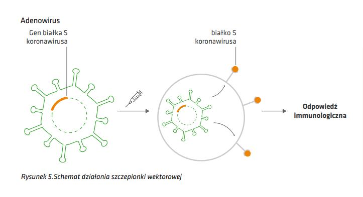 Grafika przedstawiająca schemat działania szczepionki wektorowej.